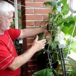 Как вырастить огурцы на балконе пошагово подготовка и создание условий, посев семян и выращивание