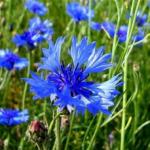 Василек-волошка выращивание, цвет растения и картинка цветка