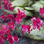 Выращивание дицентры в открытом грунте виды, посадка и уход, фото цветов