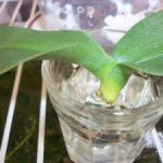 Как реанимировать орхидею, если ее корни полностью сгнили