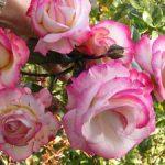 Выращивание плетистой розы сорта Хендель и уход за розой