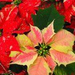 Выращивание пуансетии в домашних условиях виды цветка, посадка и уход, фото