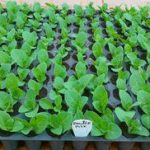 Выращивание петунии посадка семян, сколько времени должно пройти и когда они всходят, уход за
