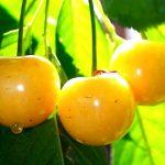 Желтая черешня описание сорта, фото, отзывы