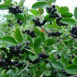 Арония (рябина черноплодная) посадка и уход, описание с фото, отзывы