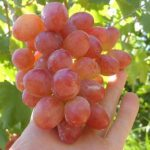 Виноград Анюта описание сорта, фото, отзывы