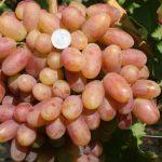 Виноград Преображение описание сорта, фото, видео, отзывы