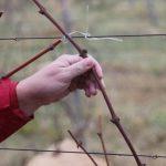 Выращивание винограда из черенков хранение, проращивание, посадка в открытый грунт и теплицу