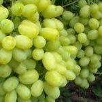 Виноград Лора описание сорта, фото, видео, отзывы