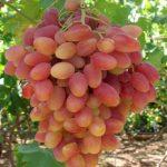 Виноград Виктор описание сорта, фото, отзывы