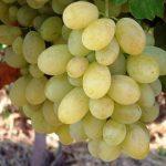 Виноград Виктория описание сорта, фото, отзывы