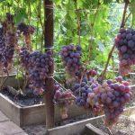Виноград Низина описание сорта, фото, отзывы