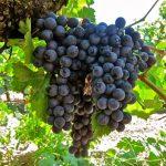 Виноград Сфинск описание сорта, фото, отзывы