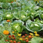 Болезни и вредители капусты чем обработать, чтобы избавиться с помощью химических и народных средств