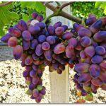 Виноград Байконур описание сорта, фото, отзывы