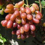Виноград Юлиан описание сорта, фото, видео, отзывы