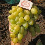Виноград Галахад описание сорта, фото, отзывы