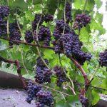 Виноград Юпитер описание сорта, фото, отзывы