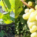 Виноград Тукай описание сорта, фото, отзывы