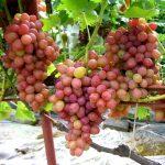 Виноград Велес описание сорта, фото, отзывы