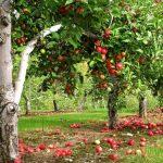 Как вырастить яблоню особенности посадки и ухода