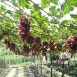 Виноград Арочный описание сорта, фото, отзывы