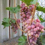 Виноград азалия описание сорта, фото, отзывы