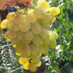 Виноград Долгожданный описание сорта, фото, отзывы