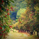 Выращивание и уход за вишней особенности посадки и размножения