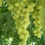 Виноград Сенсация описание сорта, фото, отзывы