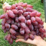 Виноград Ризамат описание сорта, фото, отзывы
