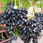 Виноград Чарли описание сорта, фото, отзывы