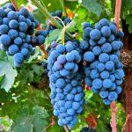 Виноград Изабелла описание сорта, фото, посадка и уход, отзывы