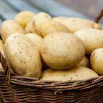 Выращивание картофеля посадка в домашних условиях на рассаду и семенами в открытый грунт, фото,
