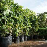 Выращивание винограда в Сибири посадка и уход, советы для начинающих