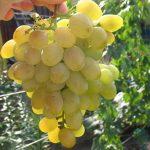 Виноград Галия описание сорта, фото, отзывы