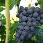 Виноград Черныш описание сорта, фото, отзывы, особенности выращивания
