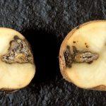 Гниль на картофеле — способы борьбы сухая или мокрая, резиновая и прочие