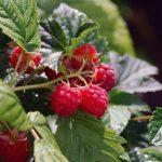 Выращивание малины на даче, в том числе в Крыму как получить хороший урожай, использование шпалеры