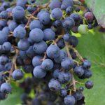 Виноград Фиолетовый ранний описание сорта, фото, отзывы
