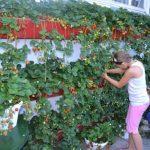 Вертикальное выращивание клубники особенности посадки и ухода для такого способа, фото
