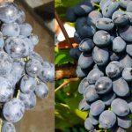 Виноград Аттика описание сорта с фото и отзывами, нюансы ухода