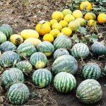 Как вырастить арбузы в средней полосе России в открытом грунте посадка, уход, а также лучшие сорта