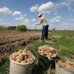 Запрет на выращивание картофеля в России кто может получить штраф