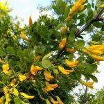 Акация желтая (карагана древовидная) — выращивание и уход за кустарником