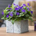 Броваллия — выращивание из семян в домашних условиях, виды цветка с фото