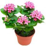 Бувардия — фото цветка, уход в домашних условиях, сажают ли в открытом грунте