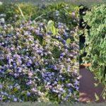 Будра плющевидная — лечебные свойства и противопоказания, выращивание в открытом грунте