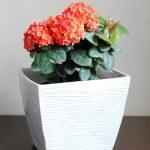 Иксора – что это за цветок и как его вырастить