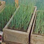 Как получить лук из семян за один год правила выращивания через рассаду, посадка в грунт